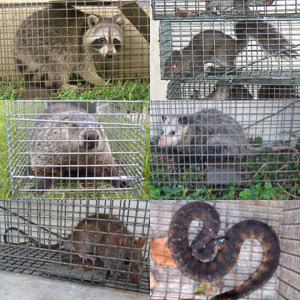Houston Animal Trapping Wildlife